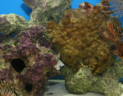 how to clean live rock of algae